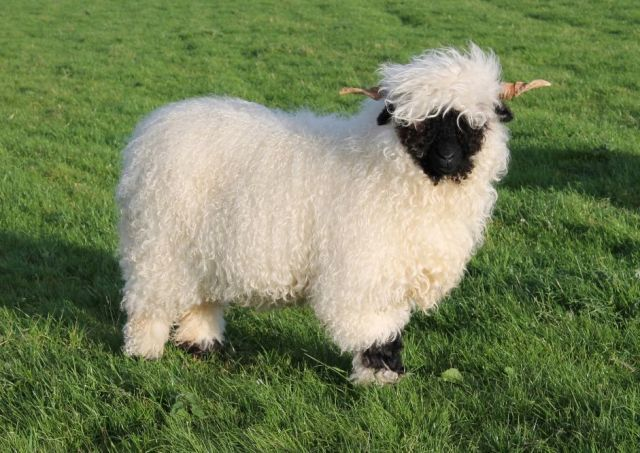 Cutest sheep in the world are in 'hot demand'
